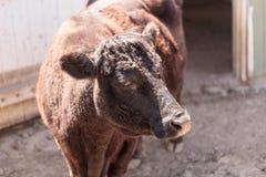 Taurus för Dexter koBos arkivfoto