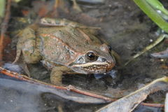Taurus frog. (Rana holtzi). It is an endemic frog from Turkey royalty free stock image