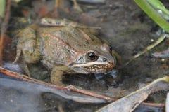 Taurus frog Royalty Free Stock Image