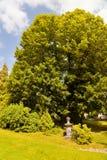 Tausend Jahre alte Lindenbaum Stockfoto