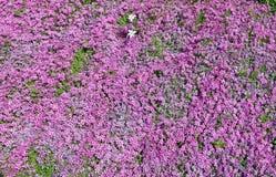 Tausenden der rosa Blumen der alpinen Gartennelke Stockbild