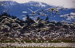 Tausenden Schnee-Gänse, die direkt an Ihnen fliegen stockfotografie