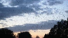 Tausenden Vögel, die in den Himmel fliegen stock video