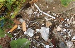 Tausendfüßer im Abfall heraus geworfen von den Menschen Stockfoto