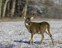 Tausendstel Buck_snow lizenzfreies stockfoto