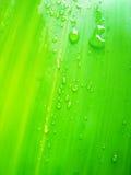 Tautropfen auf Bambusurlaub Stockfoto