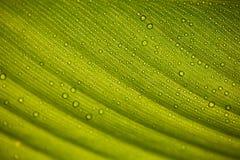 Tautropfen auf Bananenblatt lizenzfreies stockfoto