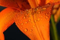 Tautropfen auf Blumenblumenblättern Lizenzfreies Stockbild