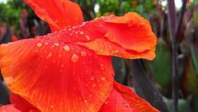 Tautropfen auf der orange Blume Stockfotografie