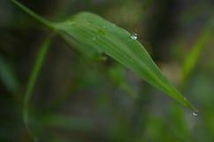 Tautropfen auf einem frischen neuen Bambusblatt Lizenzfreie Stockfotografie