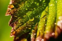 Tautropfen auf einem grünen braunen Blatt, Makrophotographie stockfotos