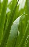 Tautropfen auf Getreidegrasblättern Stockfotografie