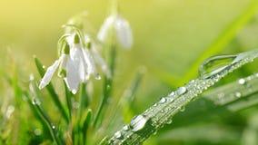 Tautropfen auf grünem Gras und Schneeglöckchen blüht auf Wiese Lizenzfreies Stockbild