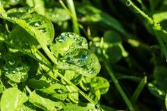 Tautropfen auf grünen Blättern Stockfotos