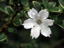 Tautropfen auf kleiner weißer Blume stockfoto