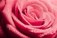 Tautropfen auf rosafarbenen Blumenblättern Lizenzfreie Stockbilder