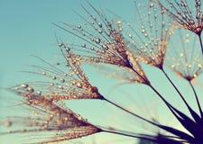 Tautropfen auf Samen eines Löwenzahns stockbilder