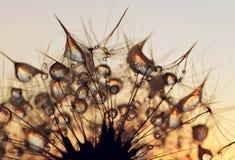 Tautropfen auf Samen eines Löwenzahns stockfotografie