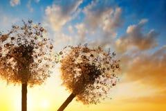 Tautropfen auf Samen von Löwenzahnblumen stockfotografie
