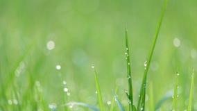 Tautropfen, die auf Gräser im Morgen-Licht glühen Lizenzfreie Stockbilder