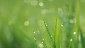 Tautropfen, die auf Gräser im Morgen-Licht glühen Lizenzfreie Stockfotografie