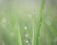 Tautropfen, die auf Gräser im weichen Licht glühen Stockfotos