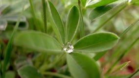 Tautropfen-Juwel in den Bluebonnet-Blättern stockfotos