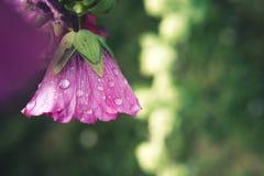 Tautropfenblüte Lizenzfreies Stockfoto