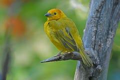 Taveta golden weaver bird. Yellow bird on a branch Royalty Free Stock Images