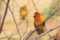 Taveta golden weaver Stock Photos