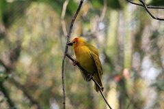 Small yellow African weaver bird outdoors. Taveta Golden Weaver Ploceus castaneiceps perched on twig. Animal Kingdom, Orlando, Florida Royalty Free Stock Image