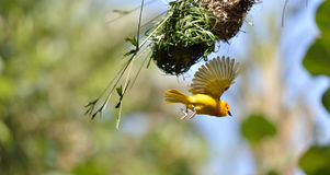 Taveta Golden Weaver Stock Image