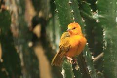 Taveta golden weaver. Sitting on the cactus Stock Images