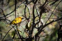 Taveta tkacza ptak Zdjęcie Royalty Free