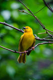 Taveta weaver from africa Royalty Free Stock Photos