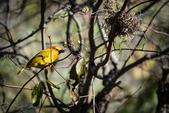 Taveta Weaver Bird Foto de archivo libre de regalías