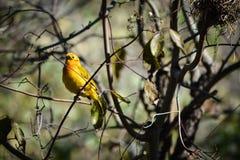 Taveta Weaver Bird Photos libres de droits