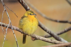 Taveta weaver Royalty Free Stock Photo