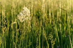 Tavolga white flowers meadow Royalty Free Stock Photos