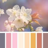 Tavolozza del fiore di ciliegia al sole Immagine Stock Libera da Diritti