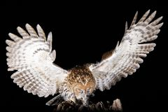 Tawney在夜画象的猫头鹰狩猎 免版税库存照片