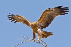 tawney αετών Στοκ Εικόνες