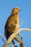 Tawney Eagle Stock Photos