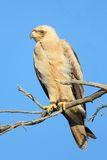 Tawney Eagle Royalty Free Stock Photography