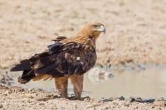 Tawney Eagle Stock Photography