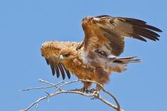Tawney Eagle Stock Photo