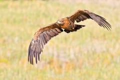 Tawney Eagle Stock Image