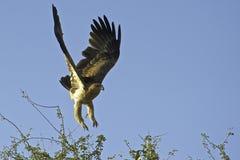 Tawney Eagle som förbereder sig att landa Fotografering för Bildbyråer