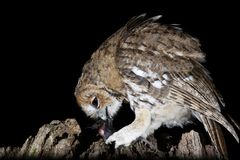 Tawney owl hunting at night portrait Stock Photo
