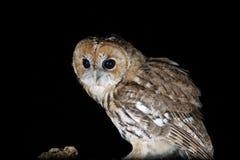 Tawney owl hunting at night portrait Royalty Free Stock Photos